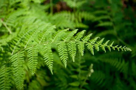 einrollen: Gr�ne �ppige Farne wachsen im Wald in freier Wildbahn