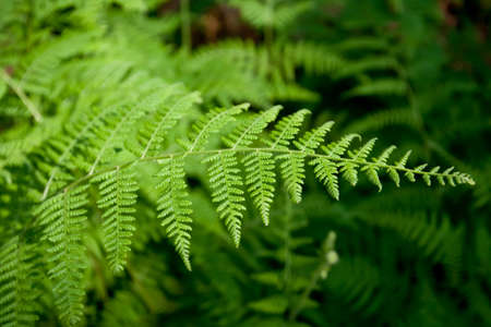 Green lush ferns growing in forest in wild Stock Photo