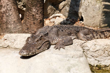 Crocodile in the Dusit zoo, Bangkok, Thailand. photo