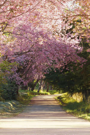 Sakura pink road in ChiangMai, Thailand photo