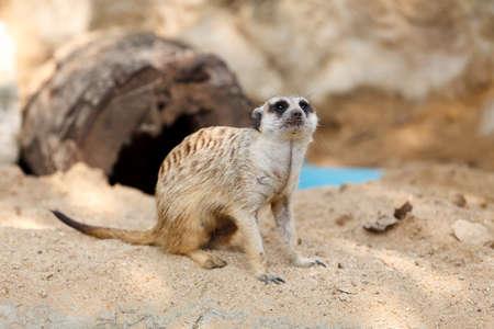 Suricate or Meerkat sitting on the sand. Stock Photo - 12724462