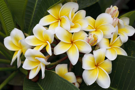Branch of tropical flowers frangipani (plumeria), Thailand. Stock Photo