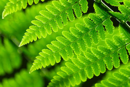 Fresh spring green fern leaves in forest. photo