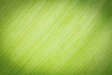 Texture background of backlight fresh green Leaf. photo