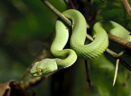 タイ熱帯雨林の緑のヘビ