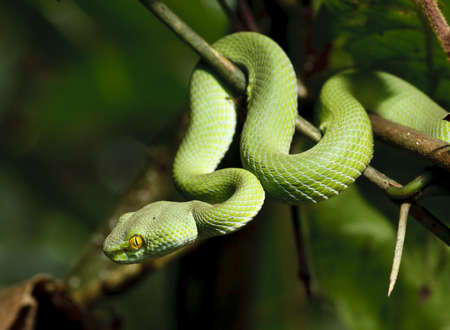 venom: Green snake in rain forest, Thailand