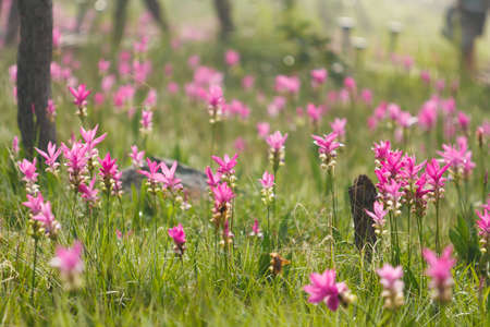Pink field of Siam tulip at Chaiyaphum Province, Thailand. Stock Photo - 13460185