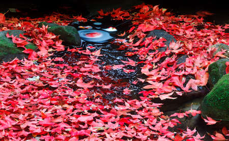 Red maple leaf during fall at Phukradung National Park, Loei, Thailand. photo