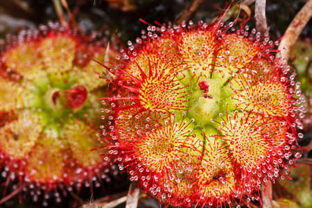 Drosera tokaiensis Carnivorous Plant That Eating Insect