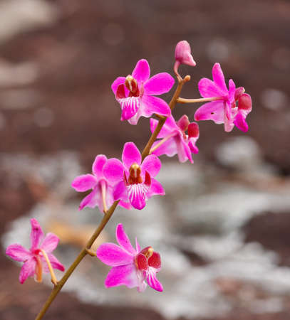 Beautiful pink orchid flower in National Park, Thailand. photo