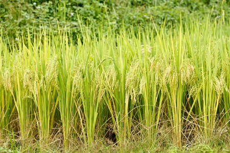 Close up of Green rice in Sapa, Vietnam. photo