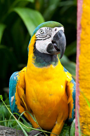 The Blue-and-yellow Macaw (Ara ararauna), also known as the Blue-and-gold Macaw, is a member of the group of large Neotropical parrots known as macaws. photo