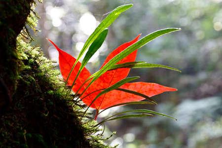 einrollen: Red Maple Leaf und gr�ne Farne in Phukradung National Park, Loei, Thailand.