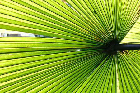 Beautiful tropical palm leaf backlit with sunlight shining through photo