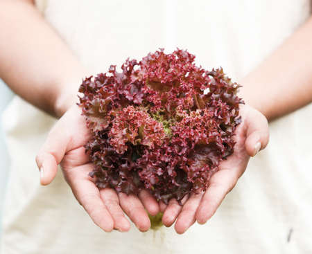 Hands holdings a fresh Purple lettuce photo