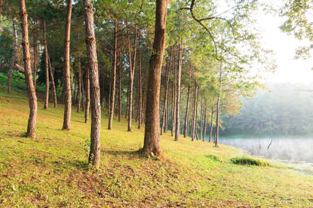 Sunbeams in Natural Spruce Woodland Stock Photo - 17097667