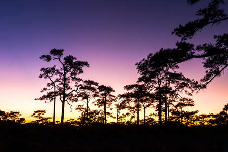 Sunset and Pine Trees at Phuktadung NationalPark, Thailand. photo
