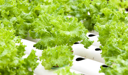 Hydroponic vegetable is planted in a garden. photo