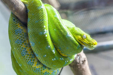 limbless: Resting wild green snake on a branch Stock Photo