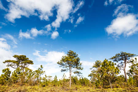 Pine tree in rain forest, Phukradung National Park, Thailand. photo