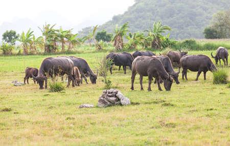 Thai buffalo in grass field near Bangkok, Thailand. photo
