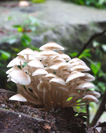 agaric honey fungus on stump in forest photo