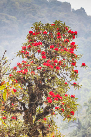 Rhododendron plants are the Himalayas, on the mountain Kanchenjunga National Park, India photo