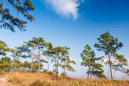 Alpine trees and blue sky forest photo
