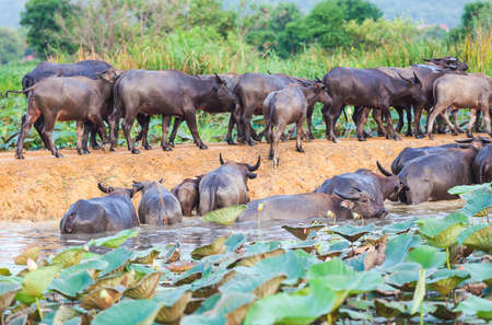 cape buffalo eating green plants in the river