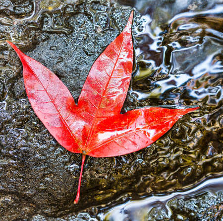 red maple leaf in national park, thailand.