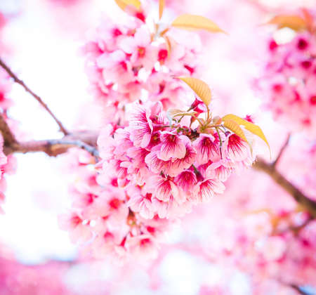 Sakura in winter at Doi Kunwang, Chaing mai Province, Thailand.
