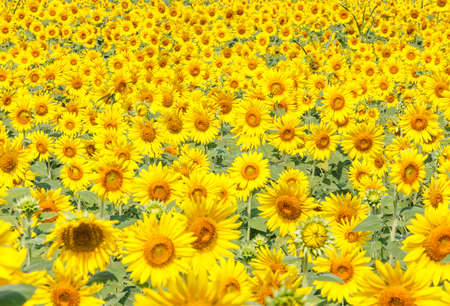 Detail of a field with many sunflowers in sunlight with shallow depth of field
