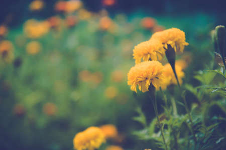 garden marigold: Yellow Marigold in the garden (Blurred background) Stock Photo