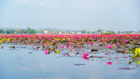 sky reflection: Pink Lotus in lake and sky reflection in thailand