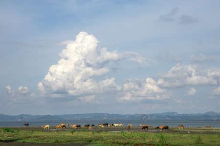 Cow herd at green farm and big sky. Фото со стока