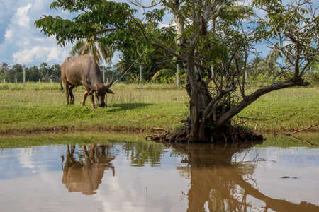 Buffalo is eating grass at farm on reflection.