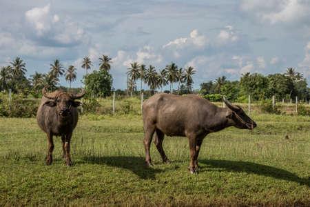 simple baffalo at farm or rural. Фото со стока