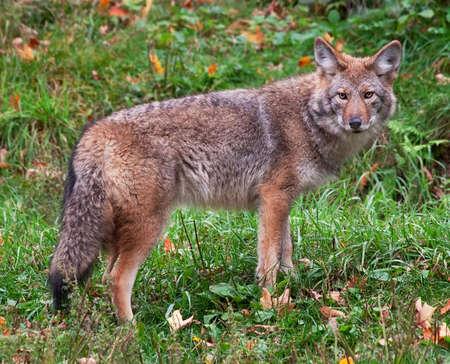 perceptive: Coyote guardando la telecamera