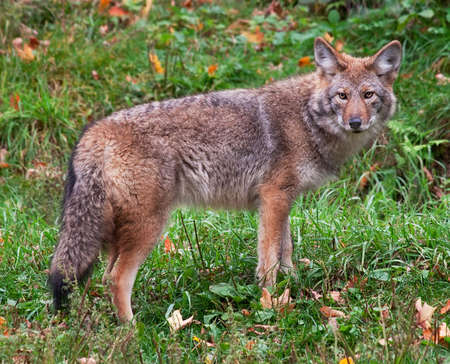 quadruped: Coyote Looking at the Camera Stock Photo