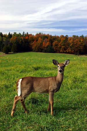 red deer: Female Deer on a Fall Day Stock Photo