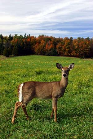 venado: Mujeres Deer en un d�a de oto�o