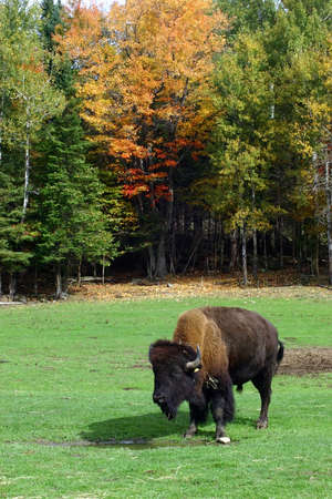 backwoods: A Colorful Fall Day and a Buffalo Stock Photo