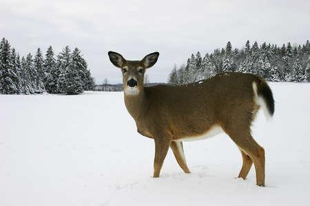 frigid: Deer walking in a Snow-Filled Field
