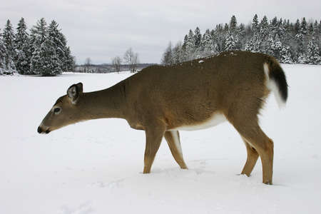Deer Walking in a Snow Filled Field photo