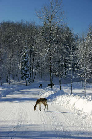 Fallow deers on a Snowy Country Road photo