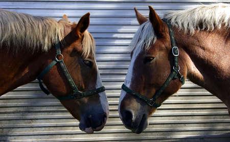 satire: Two Horses Talking Head-to-Head Stock Photo