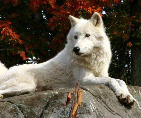 backwoods: Arctic Wolf Laying on a Rock
