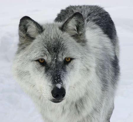 perceptive: Gray Wolf Guardando a Lei.  Archivio Fotografico