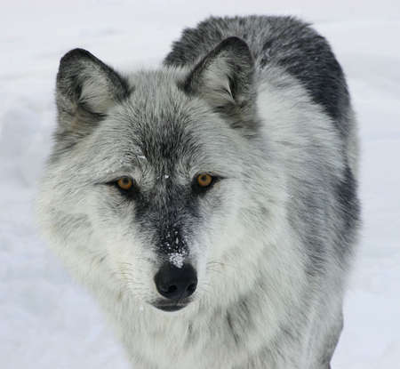 on gray: Gray Wolf Looking at You.