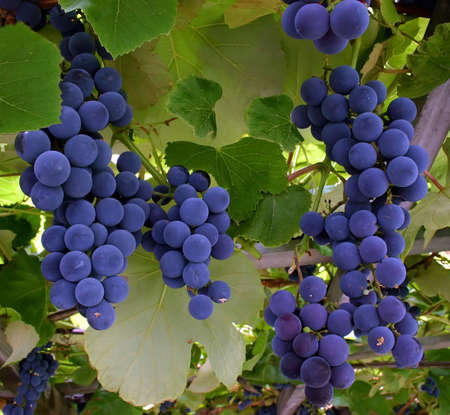 comestible: Blue Grapes Hanging from a Vine